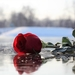 red-rose-on-ice-3193816_960_720