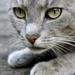 gray-cat_126360564