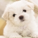 malteze-puppy_440205286