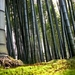 bamboo-forest_1321400917