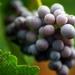 grape_1967703152