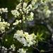 white-tree-flowers_540943802