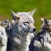 wolves_1681315017