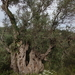 30 oude olijfboom