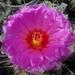 DSC04970Thelocactus bicolor