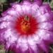 DSC04976Thelocactus bicolor