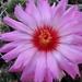 DSC04988Thelocactus bicolor