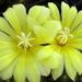 DSC05008Frailea chrysacantha