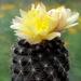 DSC05022Copiapoa tenuissima x hypogea