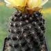 DSC05021Copiapoa tenuissima x hypogea