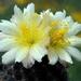 DSC05067Copiapoa tenuissima x hypogea