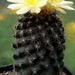 DSC05068Copiapoa tenuissima x hypogea