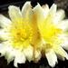 DSC05069Copiapoa tenuissima x hypogea