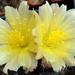DSC05121Copiapoa tenuissima x hypogea