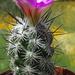 DSC05125Neolloydia conoidea