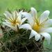 DSC05132Mammillaria blossfeldiana SB1487