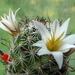 DSC05151hutchisoniana ssp. louisae