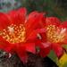 DSC05167Rebutia wessneriana cv. Ruby