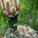 DSC05237Gymnocalycium arachnispinum
