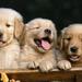 3 hondjes