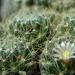 DSC05393Mammillaria crinita ssp. wildii