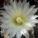 DSC05417Pyrrhocactus hankeanus