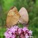 butterflies-2491308_960_720