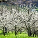 cherry-trees-1357799_960_720