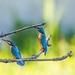 kingfisher-2349267_960_720
