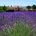 lavender-1595478_960_720