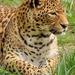 leopard-391367_960_720