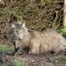 norwegian-forest-cat-2751709_960_720