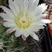 DSC05448Pyrrhocactus hankeanus