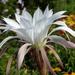 DSC05472Echinopsis multiplex