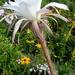 DSC05471Echinopsis multiplex