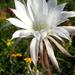 DSC05474Echinopsis multiplex