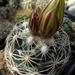 DSC05491Coryphantha pectinata Rio Pecos