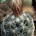 DSC05492Coryphantha pectinata Rio Pecos
