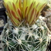 DSC05495Coryphantha maiz-tablasensis