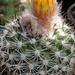 DSC05507Parodia setifera varieta ME97