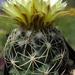 DSC05522Coryphantha maiz-tablasensis