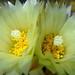 DSC05524Coryphantha maiz-tablasensis