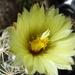 DSC05530Coryphantha maiz-tablasensis
