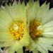 DSC05529Coryphantha maiz-tablasensis