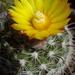 DSC05531Parodia setifera varieta ME97
