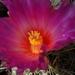 DSC05534Thelocactus bicolor bolaensis