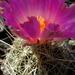 DSC05533Thelocactus bicolor bolaensis