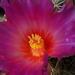 DSC05540Thelocactus bicolor bolaensis
