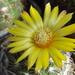 DSC05631Parodia setifera varieta ME97