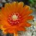 DSC05630Parodia malyana v. rubriflora